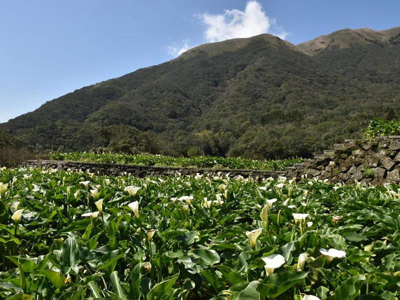春暖花開海芋季竹子湖溪畔步道