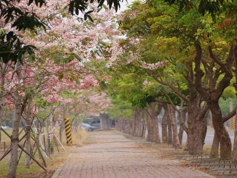四月百花盛開與烏山頭水庫南洋櫻花旗木浪漫邂逅