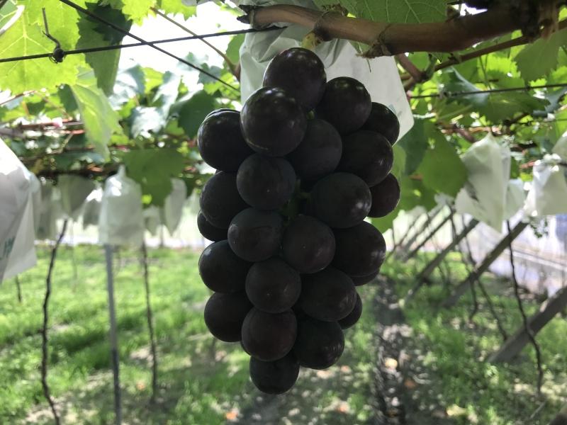 彰化大村葡萄超美味套袋葡萄美觀香甜又安全