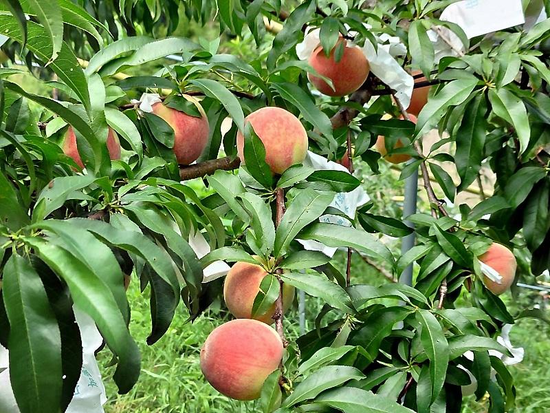 尖石水蜜桃6月28日線上開賣